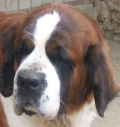 Annah Des Coteaux Lauragais , chien Saint-Bernard