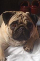 Annie, chien Carlin