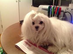 Annybelle , chien Bichon maltais