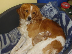 Anoi, chien Épagneul breton