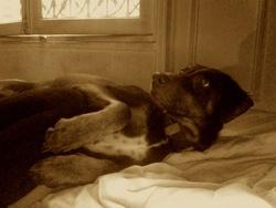 Anouche, chien Braque allemand à poil court