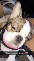 Anouck, chien Terrier de Boston