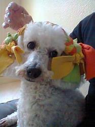 Anouck, chien Caniche