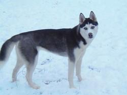 Anouck, chien Husky sibérien