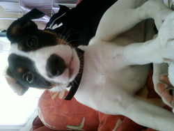 Anouk, chien Jack Russell Terrier