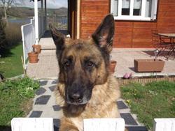 Anouk, chien Berger allemand