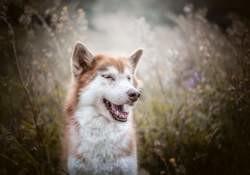 Anouk, chien Braque allemand à poil court