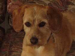 Anouk, chien Basset fauve de Bretagne
