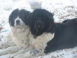 Anouk, chien Terre-Neuve
