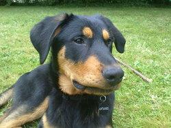 Antarès, chien Beauceron