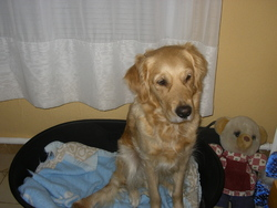 Anthea, chien Golden Retriever