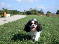 Anthéa Au Paradis, chien Cavalier King Charles Spaniel