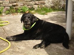 Anton, chien Labrador Retriever