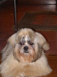 Anubis, chien Shih Tzu