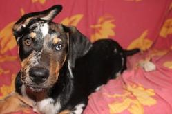 Chépa, chien Beauceron