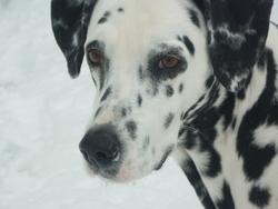 Anuka, chien Dalmatien