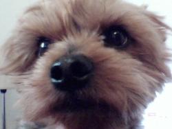 Apache, chien Yorkshire Terrier
