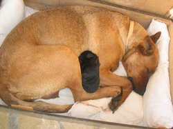 Apache, chien Labrador Retriever