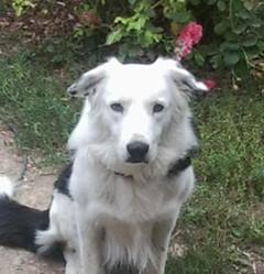 Apache, chien Border Collie