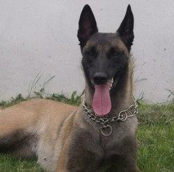 Apache, chien