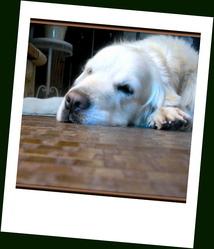 Apache, chien Golden Retriever