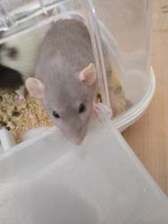 Aphrodite, rongeur Rat