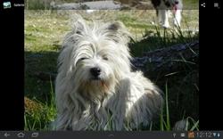 Api, chien West Highland White Terrier