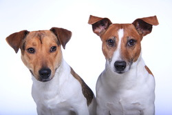 Api, chien Jack Russell Terrier