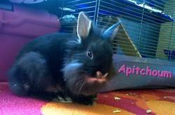 Apitchoum, rongeur Lapin