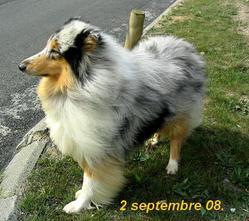 Apollo, chien Colley à poil long