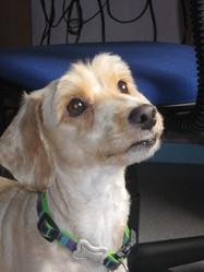 Appie, chien Caniche