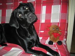 Appie, chien Labrador Retriever