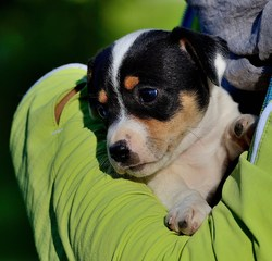 Apple, chien Jack Russell Terrier