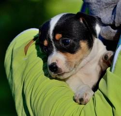 Apple, chien Jack Russell Terrier