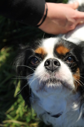 Apple, chien Cavalier King Charles Spaniel