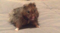 Apple, rongeur Hamster