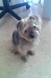 Appollo, chien Yorkshire Terrier