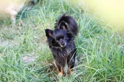 Appolon, chien Chihuahua
