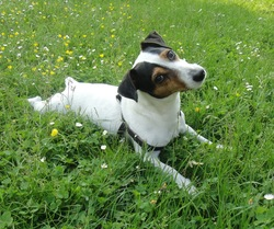 Appy, chien Jack Russell Terrier