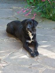 Aprica, chien Labrador Retriever