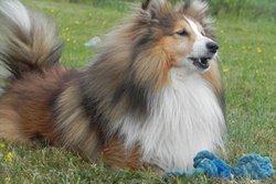 April, chien Berger des Shetland