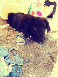 April, chien Labrador Retriever