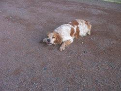 Apy, chien Épagneul breton