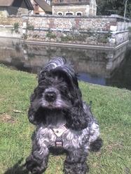 Aquarelle, chien Cocker anglais