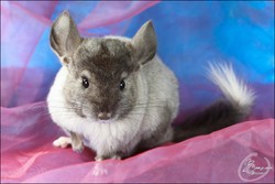 Aquarelle, rongeur Chinchilla