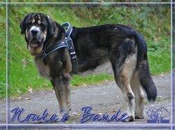 Aquiles, chien Mâtin espagnol