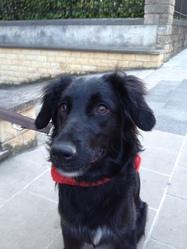 Arabella, chien Border Collie