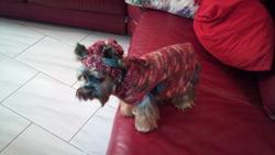Aragon, chien Yorkshire Terrier