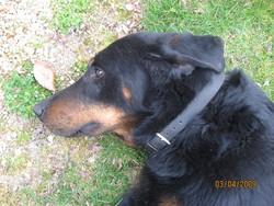 Aramis, chien Beauceron