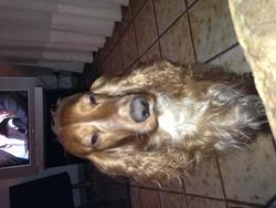 Aramis, chien Cocker anglais